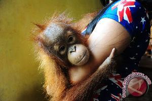 Mahasiswa Australia Minati Riset Penyelamatan Orangutan Indonesia